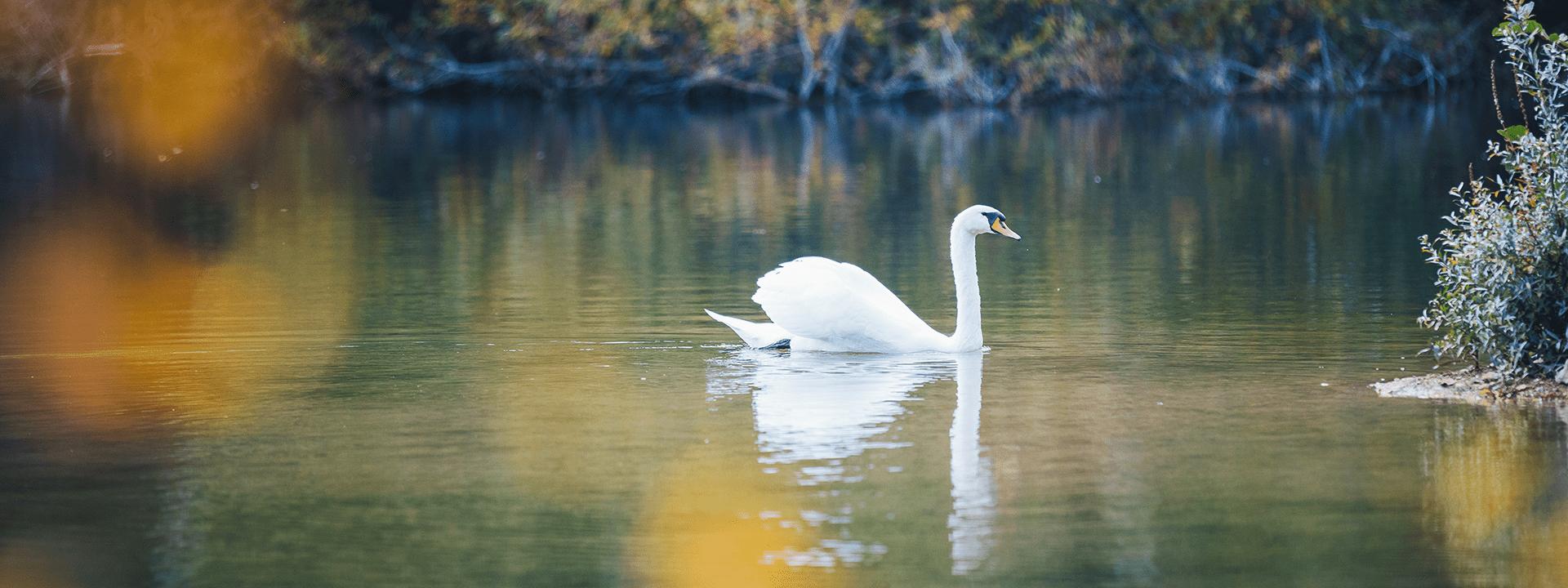 Cygne sur un étang au parc de Livry