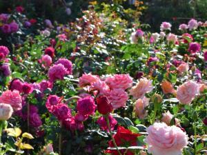 jardin de roses aux journées des plantes de Jossigny