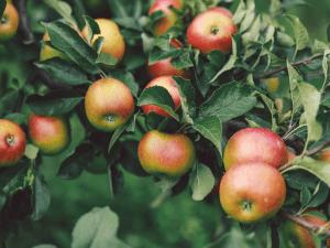 des pommes sur un feuillage de branches