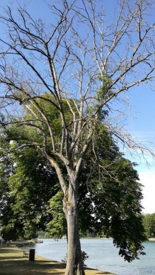 Une frêne malade