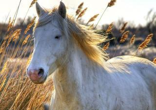 cheval blanc en liberté