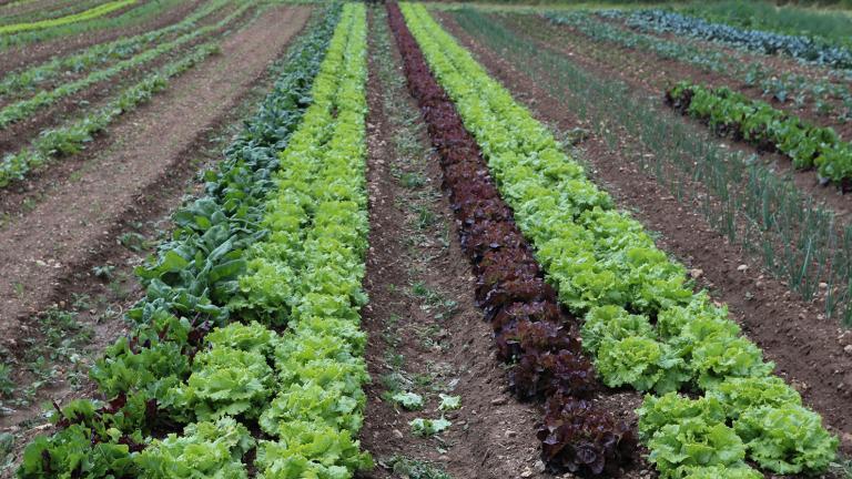 Champs de salades alignées